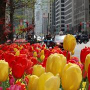 Tulipanes en la Magnífica Milla